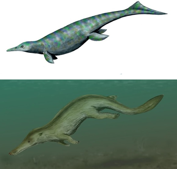 Ichthyosaurs first colonised the sea 250Ma ago.  The earliest known aquatic ichthyosaur, the otter-like Utatsusaurus hataii (top) fed on fish and shellfish in shallow water.   After the Cretaceous-Tertiary mass extinction (65Ma), the land-based ancestors of modern whales also took to water.  The early whale Kutchicetus minimus (middle) had an otter-like ecological role, and converged to evolve a similar body form.  Both had an undulating swimming style which was in the horizontal plane (like an eel) for Utatsusarus, and vertical for Kutchicetus.  This reflects the style of locomotion inherited from their respective ancestors (Images: Wikimedia Commons)
