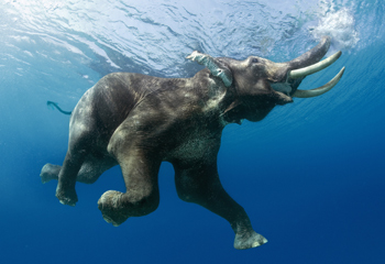 A feral male Indian elephant (Elephas maximus) known as Raja, caught here by wildlife photographer and author Steve Bloom.  Steve observed this animal regularly swimming off the coast; Andaman islands, India.  Male elephants are typically solitary; the herd is comprised of females and youngsters (Image: Steve Bloom, 2006)