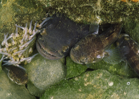 The Califormia Singing fish (Porichthys notatus), also known as the 'plainfin midshiopman fish', have two forms of male.  The larger males are territorial during the spawning season, and excavate rocky nests along the coast, where they sing to attract females.  Their courtship song, something like the steady drone of an aircraft engine, is pitched at around the A flat below middle C (Image: © Andrew Bass & Margaret Marchaterre)
