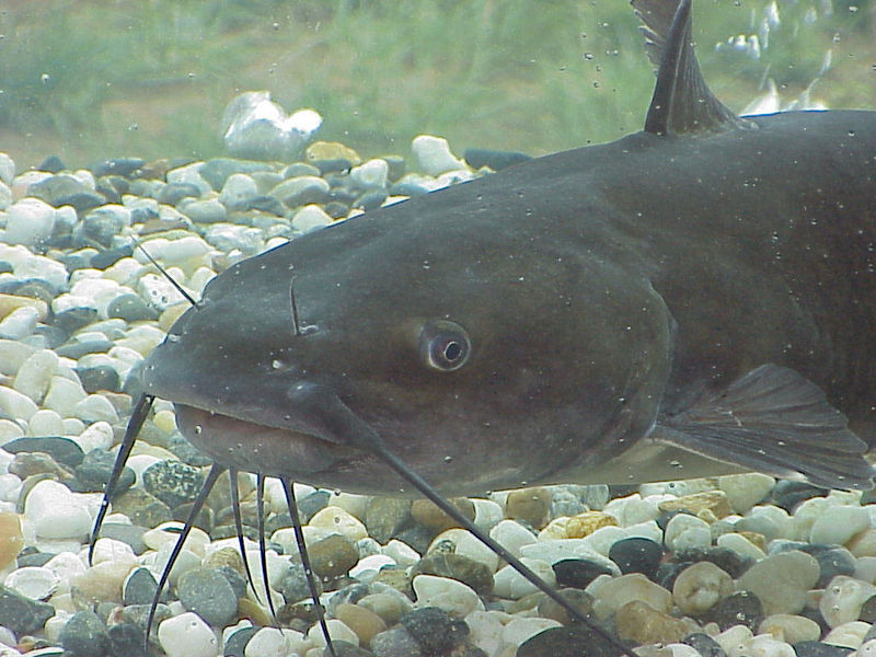 The enhanced touch and taste senses of cave fish are also found in fish that hunt in murky waters, e.g. this channel catfish (Ictalurus punctatus).  These fish have touch sensitive 'whiskers' (barbels) and a high density of chemoreceptors (taste organs) over their bodies, making them into a 'tactile, swimming tongue'.  These senses are more important to this fish than vision, hence their eyes are small (Image: Wikimedia Commons)