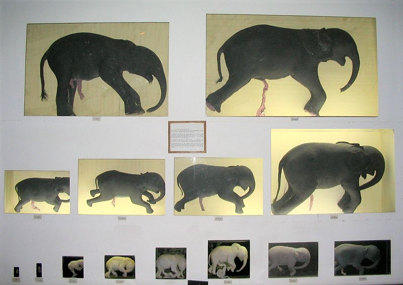 This photographic series of elephant foetuses shows the early appearance of the trunk.  Natural History Museum, Maputo, Mozambique. An elephant foetus has detectable heart beats by day 80 of gestation, and the trunk starts to become visible at days 85-90.  Overall, gestation is approximately 660 days (Image Wikimedia Commons)