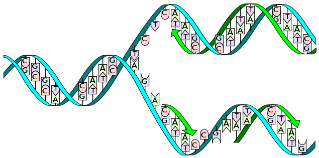 Genes code for proteins by using a 3-letter alphabet of adenine, thymine, guanine and cytosine (abbreviated to A, T, G and C).  These nucletodes are knwn as 'bases' (are alkaline in solution) and make matched pairs which form the 'rungs of the ladder' of the DNA helix. Substituting one base for another (as happens in many mutations) can change the amino acid sequence of the protein a gene encodes.  Changes may make no impact on survival, allowing the DNA sequence to alter over time.  Changes that affect critical sections of the protein (e.g. an enzyme's active site), or critical proteins like FoxP2, are rare (Image: Wikimedia Commons)
