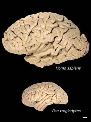 Comparison of human (above) and chimpanzee brain sizes (Image: Wikimedia Commons)