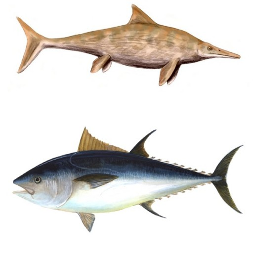 The ichthyosaur Stenopterygius quadriscissus (above), became widespread, in the late Jurassic and early Cretaceous (160-100Ma). Its body shape is similar to that of the Bluefin tuna (Thunnus thynnus (below).  Tuna hunt fish and squid at around 500m depth.  This is possible because they have a high oxygen intake, fast metabolic rate, warm muscles, an energy efficient swimming style, and a higher heart rate and blood pressure than other fish (Images: Wikimedia Commons)
