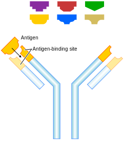 Diagram of an antibody.   These immune system proteins are a complex of four separate protein chains.  In this diagram, blue regions are consistent whilst the yellow regions are variable.  They are secreted into the blood stream or gut.  Adaptive immune cells use them as 'antennae'.  When this signal receiver encounters an antigen that is a good fit, this triggers an adaptive response.    All proteins interact by shape.  Antibodies have a recognition region which is highly variable, giving a huge range of options for recognising a foreign protein (antigen).  These regions are produced by shuffling between alternative gene segments to produce variations.  The strongest immune reactions provide a 'best fit' to this three-dimensional molecular jigsaw (Image: Wikimedia Commons)