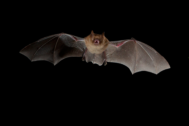 Geoffroy's horseshoe bat (Rhinolophus clivosus) during a hunting flight.  These bats forage for fluttering insects amongst shrubby vegetation in tropical and subtropical moist forest habitats (Wikimedia Commons)