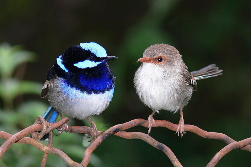 A male and female Superb Fairy wren (Malurus cyaneus) from Western Australia.  These birds pair-bond to raise their brood, although females often mate covertly with other males (cuckoldry).  Male fairy wrens have unusually large testes (and hence high testosterone levels) for their body size, compared with similarly sized monogamous birds.  This pattern is seen in other vertebrates where females mate with several males.  Producing more sperm (by having larger testes) significantly affects their chances of breeding success through better sperm competition.  'Sneaker' male midshipman fish also have large testes relative to their body size; their limited opportunities to fertilise a female's eggs means that if they are to succeed, their sperm must be highly competitive (Image: Wikimedia Commons)