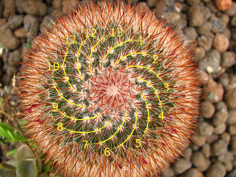 Cactus showing 13 spirals (Image: Wikimedia Commons)