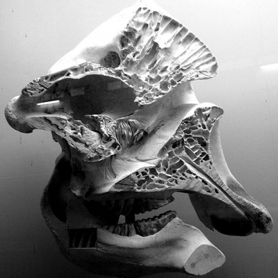 This skull (formerly from a zoo elephant, kept at Basle in Switzerland) has had a front (sagittal) section removed, to show the honeycomb of air cavities inside the bones.  Elephants hear low frequencies (infrasounds) transmitted through the ground and conducted to their skull and inner ears through the bones of their front legs.  These sounds are amplified by resonating in these inner bone chambers (Image: Wikimedia Commons)