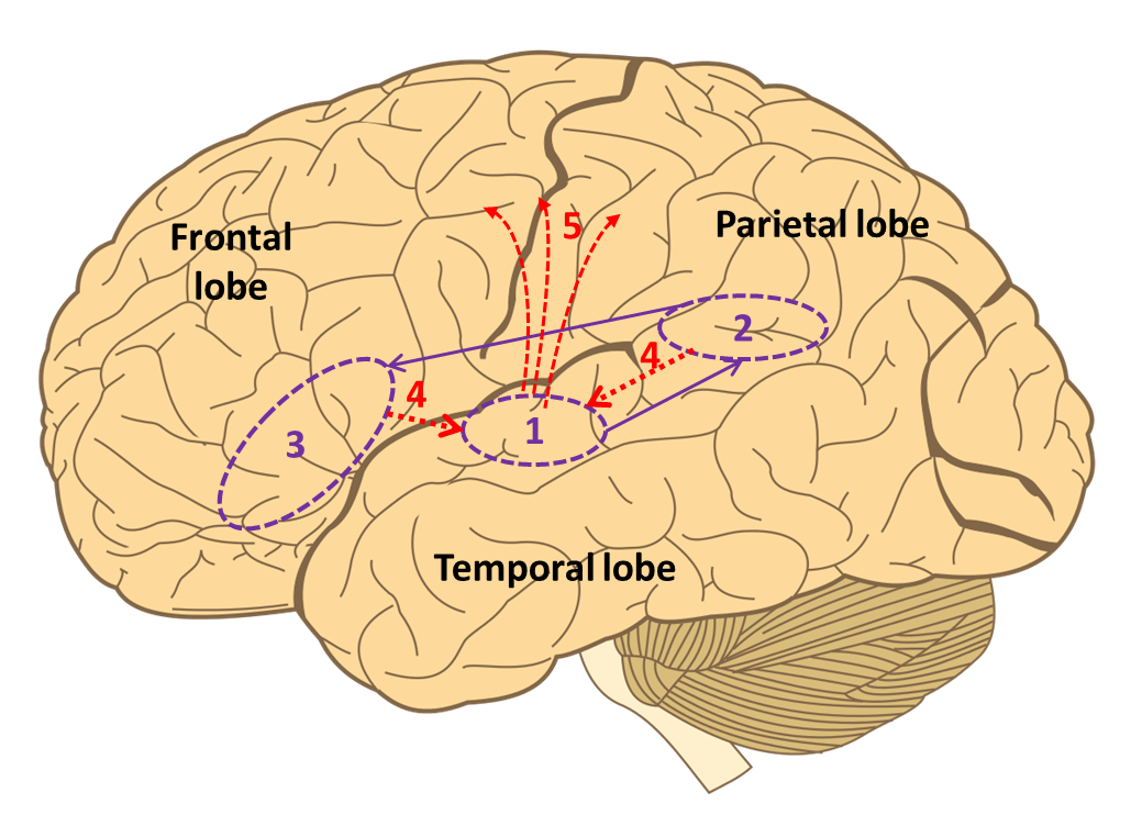 Our visual cortex receives information from the eyes, which is then relayed around the mirror network and mapped onto the motor output to the muscles.   First, [purple] the upper temporal cortex (1) receives visual information and assembles a visual description which is sent to parietal mirror neurons (2).  These compile an in-body description of the movement, and relay it to the lower frontal cortex (3) which associates the movement with a goal.   With these observations complete, inner imitation (red) of the movement is now possible. Information is sent back to the temporal cortex (4) and mapped onto centres in the motor cortex which control body movement (5) (Image: Annotated from Wikimedia Commons)