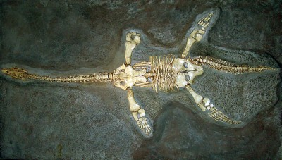 Cast of a skeleton of Hawkins' plesiosaur (Thalassiodracon hawkinsi) from the Lower Lias strata at Street in Somerset; part of England's Jurassic coast.  These rocks are rich in marine fossils of all kinds including fish, ammonites and belemnites (Image: Wikimedia Commons)