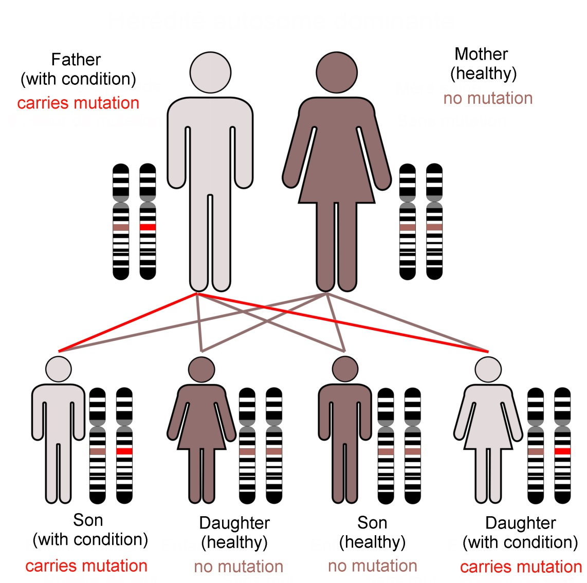 Family KE's condition, caused by a dominant mutation in the FoxP2 gene, follows an autosomal (not sex-linked) pattern of inheritance, as shown here.   Dominant mutations are visible when only one gene copy is present.  In contrast a recessive trait is not seen in the organism unless both chromosomes of the pair carry the mutant form of the gene.   The FoxP2 transcription factor protein is required in precise amounts for normal function of the brain.  The loss of one working FoxP2 gene copy reduces this 'dose' which is enough to cause the problems that emerged as family KE's symptoms (Image: Annotated from Wikimedia Commons)