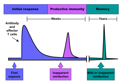 When a patient is first vaccinated, the adaptive immune system raises a response against the foreign antigens.  These cells persist at a high level for several weeks, then the antibody level and effector T-cell activity gradually declines.  When a patient is re-vaccinated, a stronger response results.  Selection favours T-cells with small differences in antibody binding that give a stronger reaction.  These highly specific clones remain in the serum and lymphatic tissues and provide protective immunity against reinfection by the same agent.  This gives a longer term immunological memory; later reinfection leads to a rapid increase in antibody production and effector T cell activity, which often prevents the disease from being apparent (Image: Wikimedia Commons)