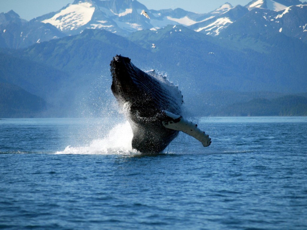 A humpback whale (Megaptera novaeangliae) 'breaching' off the coast of South Shelter Island, Juneau, Alaska.  The flexible throat pleats are visible here as a series of ridges.  Since it is unethical to perform invasive tests on live whales, it has not been proven how these intriguing animals produce sound.  Our current understanding is based on studies of the anatomy of already dead whales (Image: Wikimedia Commons). Listen to a selection of humpback calls here:  - Call at breeding ground - Call from West Indies - Yups