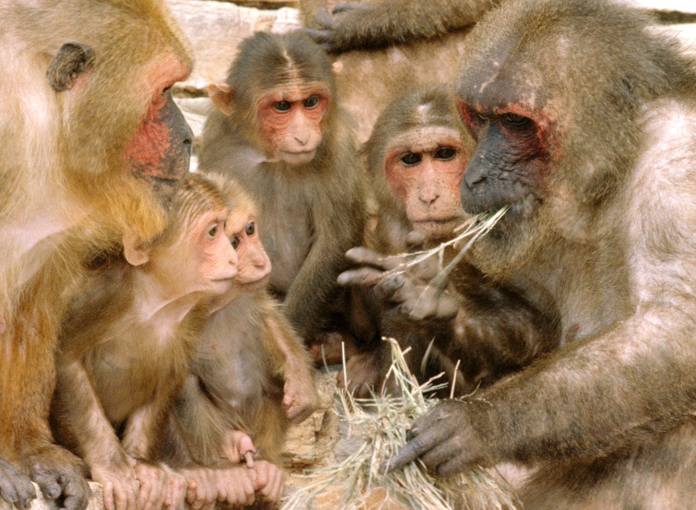 A tribe of stump tail macaques (Macaca arctoides) watch their alpha male eating.   Macaques making meaningful gestures, such as grabbing for food, triggers the same mirror neurone network in the animal performing the action and the observers. (Image: Wikimedia commons)