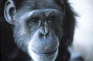 "The chimpanzee (Pan troglodytes) known as Washoe (1965-2007) was the first non-human animal to be taught American sign language.  She lived from birth with a human family, and was taught around 350 sign words.  It was reported that upon seeing a swan, Washoe signed ""water"" and ""bird"".  Chimpanzees are capable of learning simple symbols.  However Washoe did not make the transition to combining these symbols together into new meanings  (Image: Wikimedia commons)"