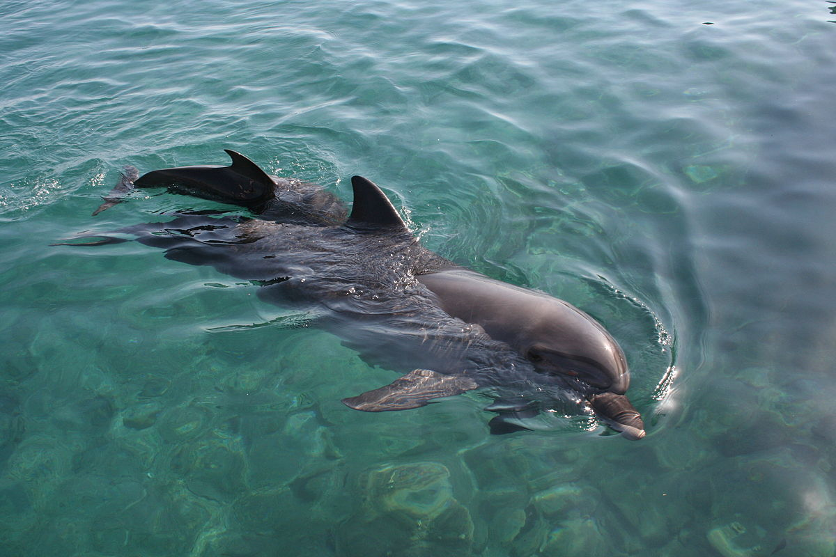 A dolphin mother calls to her calf using its unique signature whistle and teaches it to hunt.  Male dolphins call each other's whistle signatures when hunting.  When meeting a new pod, dolphins call using their own signature whistles, as though announcing who is there.  Whilst most mammals identify each other by scent, dolphins hold their breath when diving, so cannot use this sense.  Instead these animals use signature calls ('names') to stay in contact with each other in low visibility conditions, and to strengthen social bonds between parents and offspring (Image: Wikimedia Commons)