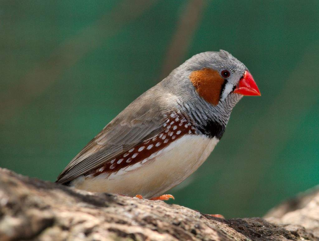 A male Zebra Finch (Taeniopygia guttata) at Dundee Wildlife Park, South Australia. The complex calls of Zebra finches and many other songbirds are learned.  Juvenile birds have a period of imprinting, in which they mimic the adult calls of their 'tribe'.  This learning window closes as they reach adult age, at which point their song pattern becomes 'fixed' (Image: Wikimedia Commons)