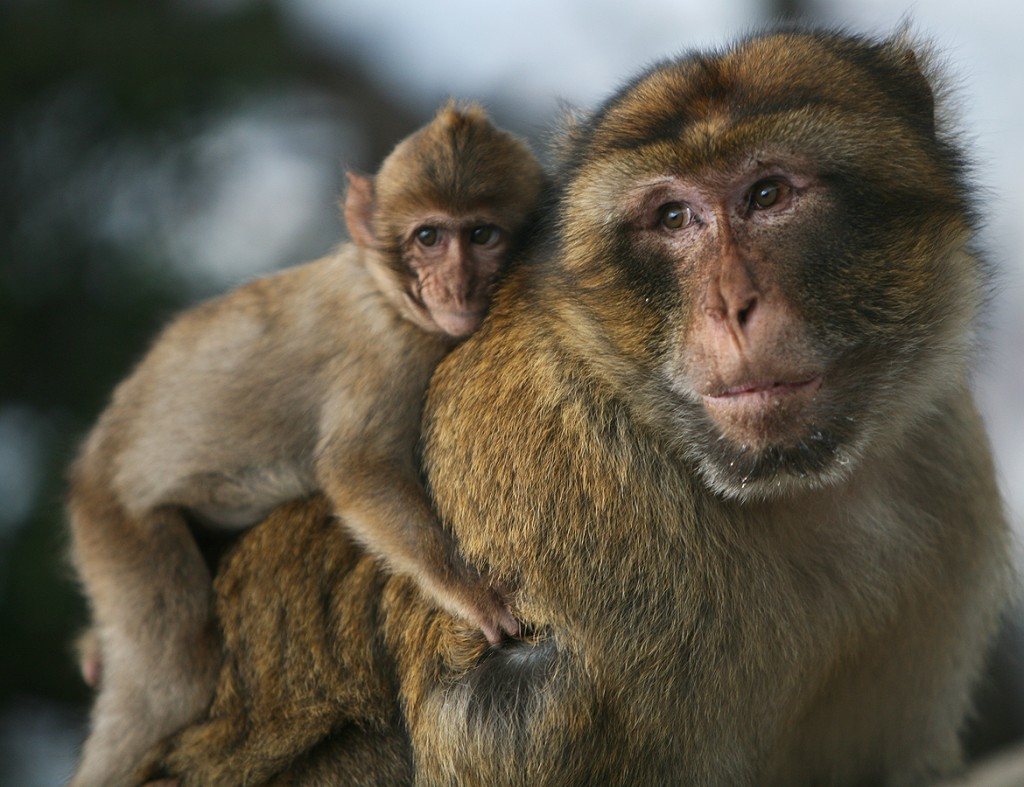 We find that we are able to 'read' emotion in the face of this male Barbary Macaque (Macaca sylvanus) and his offspring.  All primates use facial expressions and involuntary vocal calls to  communicate emotions. Macaques and other monkeys change their facial expression involuntarily, revealing information about their emotional state even when these animals are not interacting directly with each other.  For instance, these and other primates are sensitive to audible rhythms, and upon hearing them, produce changes in facial expression which is matched by a shift in the neural circuitry of the brain (Image: Wikimedia Commons).   Watch this happen.