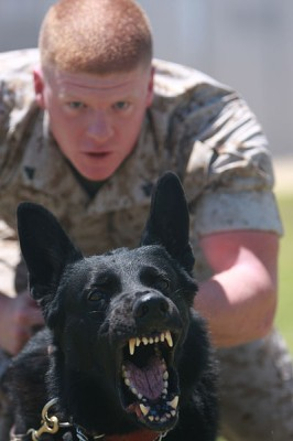 Jack, a military working dog, barking during his training; Rochester, New York, 2009.  Dogs are unusual amongst vocal mammals; their calls include barking sequences (bow-wow-wow) alternate between mostly identical open-close jaw movements.  In humans, this alternation is a universal speaking mode.  The dog barking in this video is also making other coupled rhythmic communication signals – note the tail wagging and ear movements (Image: Wikimedia Commons)