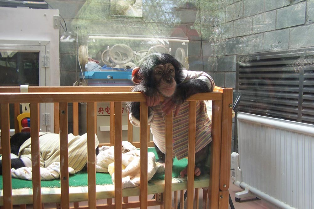 Baby chimpanzee (Pan troglodytes) at Beijing zoo. Chimpanzees can be taught to recognise several hundred human words, but none have reproduced these verbally, even if raised in a human environment. Chimpanzees make occasional calls in a series (something like syllables in speech), although repetition of one sound is more usual.  In the variable-sound calls, the arrangement of components do not seem to be significant.  In contrast, we can say e.g.  'cat, 'tack' and 'act, using varied sequences of the same sounds to infer different information (Image: Wikimedia Commons)
