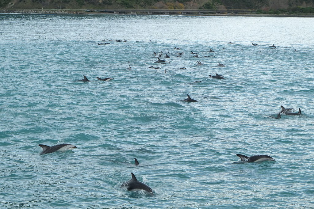 A large pod of over 80 dusky dolphins (Lagenorhynchus obscurus) swimming together in South Bay, Kaikoura, New Zealand. Although there is some physical touching amongst individuals in the pod, dolphins and killer whales use vocal grooming to coordinate with each other when hunting, during migrations, and 'play'  (Image: Wikimedia Commons)