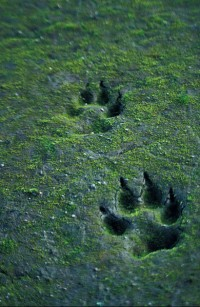 These marks in sand reveal the recent passage of a grey wolf (Canis lupus). Understanding such cues from the environment would have been useful to the survival of our hominin ancestors (Image: Wikimedia Commons)