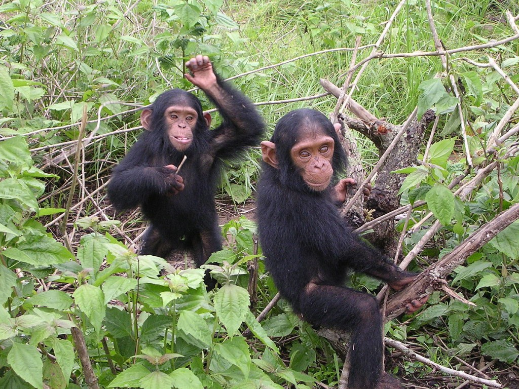 Young chimpanzees from the Jane Goodall sanctuary of Tchimpounga (Congo Brazzaville).  Wild chimpanzees (Pan troglodytes) make 'pant hoot' calls upon finding food, such as a tree laden with fruit.  These calls are recognisable by other members of their group.  Adjacent groups of wild chimps with overlapping territories adjust and re-model their pant hoot calls so that their group call signature is distinctive from that of the other tribe.  These remodelled calls seem to indicate group learning amongst these animals (Image: Wikimedia Commons)