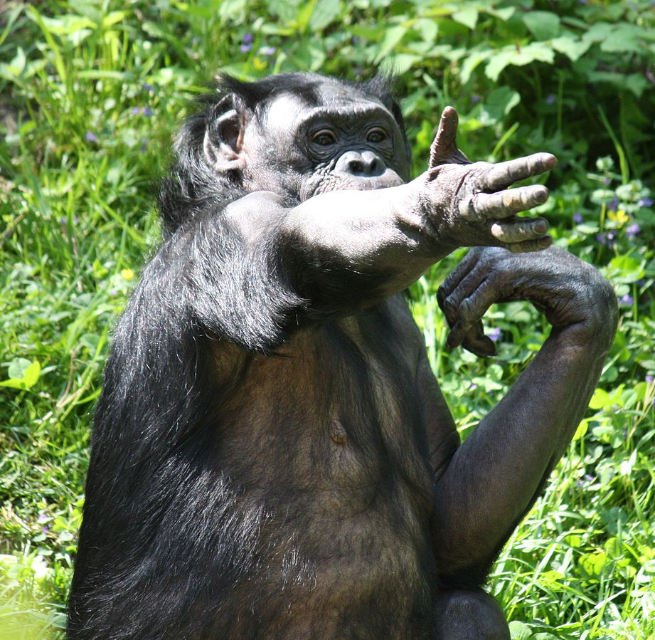 A bonobo (Pan paniscus) at Cincinatti zoo, communicates using a gesture.  Arguably the most accomplished of the language trained chimps was the male bonobo Kansi, raised by Sue Savage Rumbaugh and others at Georgia State University.  Kansi learned to use some 400 words, using a board of pictorial (abstract) symbols.  He regularly used around 30 to 40 of these in a typical day, and combined them occasionally into pairs.  However although Kansi was able to understand simple phrases (such as 'subject + verb + object'), could follow simple instructions, and could identify animals and humans by name, he did not use these language structures to talk about himself (Image: Wikimedia Commons)