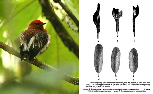 The male club-winged manakin (Machaeropterus deliciosus) from the cloud forests of Ecuador makes sounds by rapid wing vibrations.  This rhythmic movement is driven by the vertebrate vocal central pattern generators.  The line drawing (shown right), from Charles Darwin's book The descent of man, shows how the male birds' secondary flight feathers (top ) are modified for sound (the equivalent feathers from the female bird are shown in the bottom row).  Watch. (Images: Wikimedia Commons)