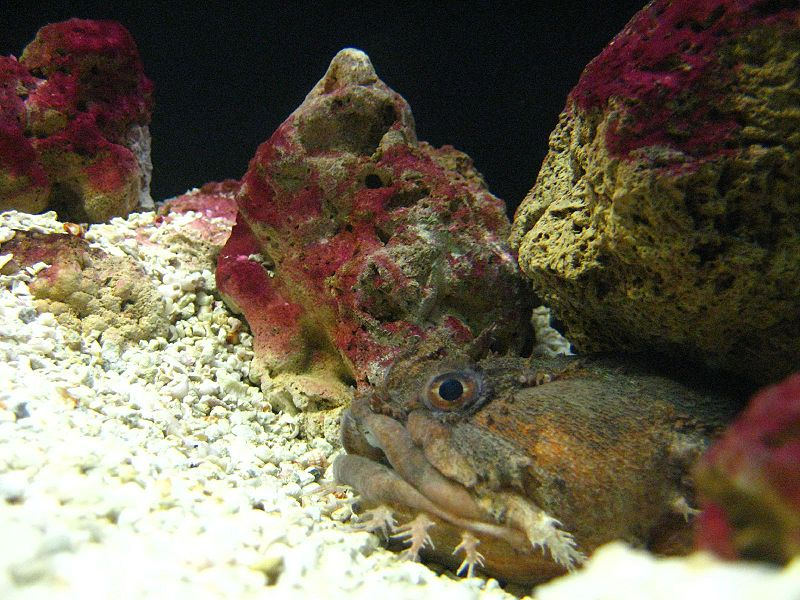 Vocal fish such as this Oyster toadfish (Opsanus tau) produce calls in one of two 'output modes'.  This is controlled by testosterone, which reduces the threshold of nerve stimulus needed to initiate calls.  In 'normal' mode, these fish are able to sustain only slow rhythmic grunts.  'Mating mode' speeds up these sounds into a buzzing drone. Mating calls are made only at night during the spawning season, when testosterone levels are high.   In this video clip the closely related plainfin midshipman fish (Porichthys notatus) demonstrates both call types (Image: Wikimedia Commons)