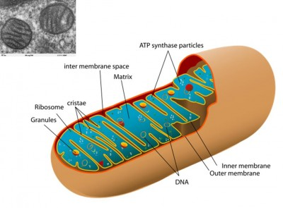 The Transmission Electron Microscope image (top left) is a mitochondrion. This 'organelle' is found in all eukaryotic cells.  The diagram shows the internal membrane system found inside these formerly free-living bacteria. Mitochondria are the 'power stations' of the cell, using the energy released by the breakdown of sugar to combine Adenosine di-phosphate (ADP) and a free phosphate ion into Adenosine tri-phosphate (ATP).  The ATP molecule temporarily stores this energy until it is used to drive other chemical reactions.   (Image: Wikimedia Commons)