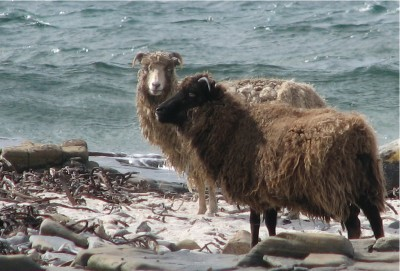 These North Ronaldsay sheep are descended from an Orkney population farmed here since Neolithic times.  They graze along the shoreline, feeding almost exclusively on seaweed.  Their rumen stomachs have an adapted bacterial population which enables them to digest marine algae (Image: Wikimedia Commons)