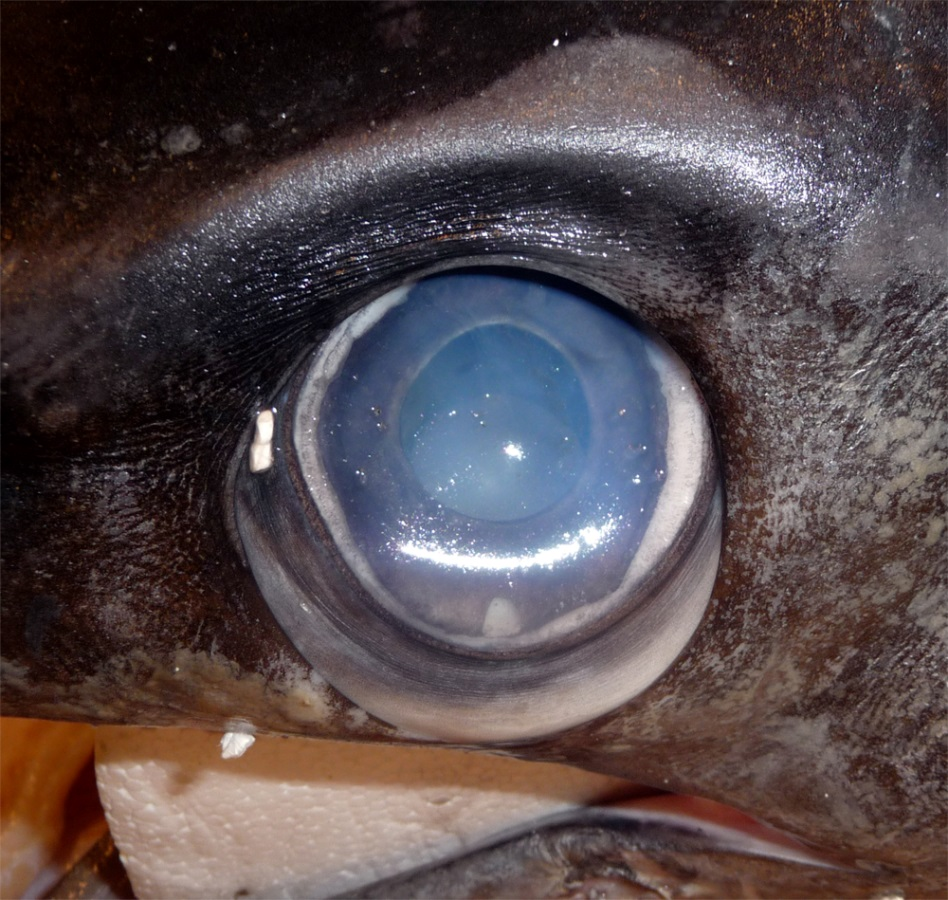 Close-up of a swordfish's eye from a caught specimen.  The eyes sit in a bony eye cup surrounded by a thick insulating layer of fatty tissue – part of which is visible here below the eyeball (Image: Wikimedia Commons)