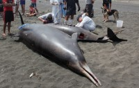 University researchers conduct an autopsy on two stranded Gray's beaked whales (Mesplodon grayi) at Port Waikato, New Zealand.  Exposure to underwater sonar seems to trigger a change in their normal diving behaviour, perhaps causing these animals to surface too quickly and putting them at risk of decompression sickness (Image: Wikimedia Commons)