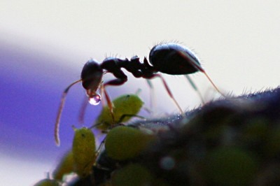 An ant collects honeydew from an aphid. The coexistence of ants and aphids is an example of a symbiotic relationship; the ants 'farm' the aphids for honeydew and in return the ants protect the aphids. For example, when it rains the ants might move the aphids to sheltered locations(Image:  Dawidi/Wikimedia Commons)