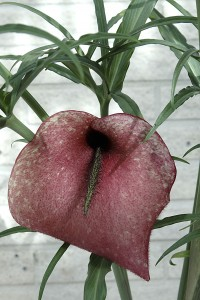 Dead-horse arum (Helicodiceros muscivorus) (Image: Ingemar Johansson/Wikimedia Commons)