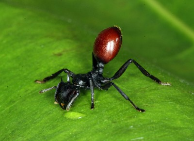 A tropical ant (Cephalotes atratus) infected with a parasitic nematode (Image: Steve Yanoviak via Wikimedia Commons)