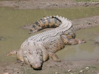 Saltwater Crocodile (Crocodylus porosus) (Image: Wikimedia Commons)