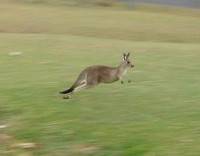 Kangaroo in motion (Image: Wikimedia Commons)