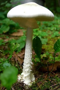 Destroying angel (Amanita virosa) (Image: Wikimedia Commons)