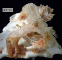 Hexactinellid sponge (aka glass sponge) on a xenophorid gastropod (Image: Wikimedia Commons)
