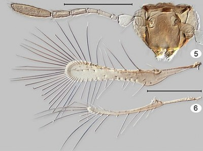 Tinkerbella. Top (5) is the head and right antenna, with wings (6) beneath. Scale line = 100 μm (Image: Huber J, Noyes J. 2013. A new genus and species of fairyfly, Tinkerbella nana (Hymenoptera, Mymaridae), with comments on its sister genus Kikiki , and discussion on small size limits in arthropods. Journal of Hymenoptera Research 32: 17--44 / Wikimedia Commons)