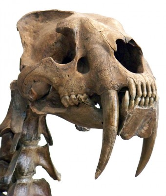 Smilodon skull (Image: Wikimedia Commons)