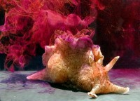 Sea Hare (Aplysia californica) (Image: Genny Anderson via Wikimedia Commons)