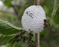 A spittlebug surrounded by its protective foam (Image: Wikimedia Commons)