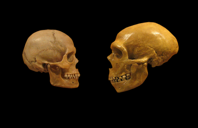 Skull of a modern human (left) and that of a Neanderthal (right) (Image: Wikimedia Commons)