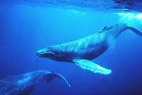 Humpback whale  (Image: Wikimedia Commons)