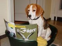 A Beagle (Image: Fantagu/Wikimedia Commons)