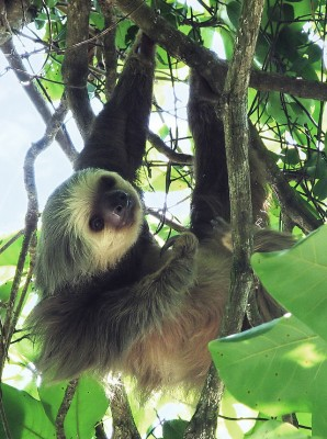 Hoffman's two-toed sloth (Choloepus hoffmanni). Sloths have a green tinge to their fur. This is due to a symbiotic guest in the form of a green algae, conveniently housed in specially modified hair (Image: Wikimedia Commons)